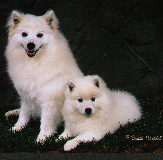 Wright's American Eskimos - American Eskimo Dogs and Puppies